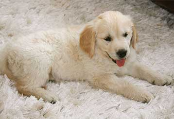 Pet Hair Removal | Burbank Carpet Cleaning